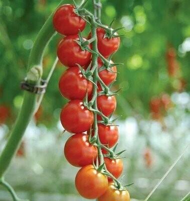 Sakura Cherry Tomato - Organic - F1