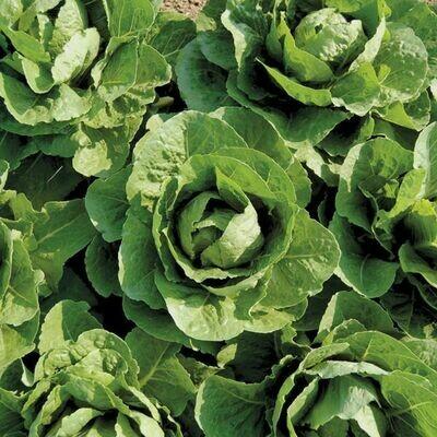 Coastal Star Lettuce - Organic