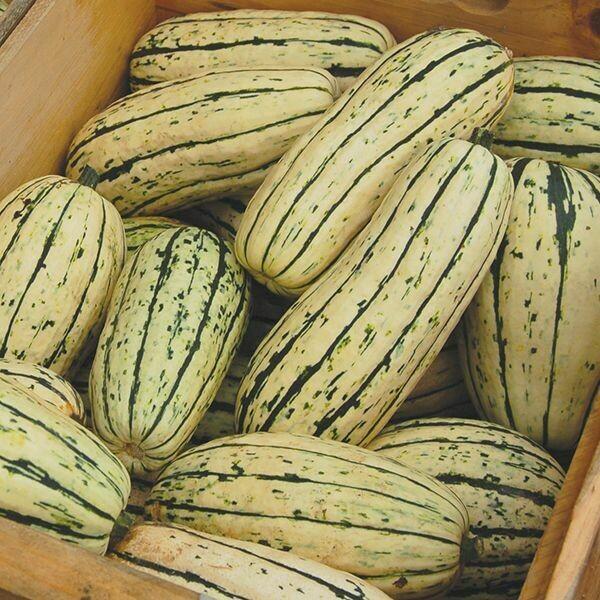 Delicata Squash - Organic