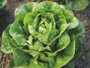 Dragoon Lettuce - Organic