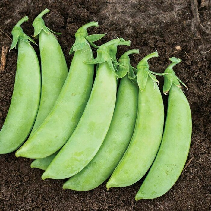 Cascadia Snap Pea - Organic