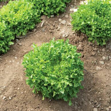 Hampton Lettuce - Organic - Pelleted