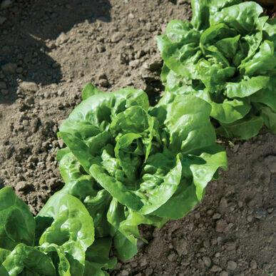 Buttercrunch Lettuce - Organic