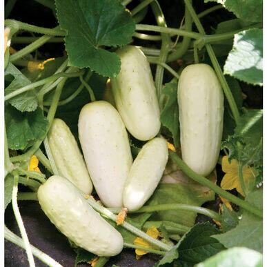 Salt and Pepper Cucumber - Organic