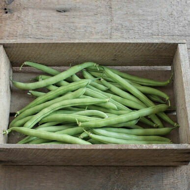 Provider Bush Bean - Organic