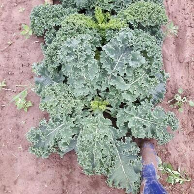 Kale - 1 bunch