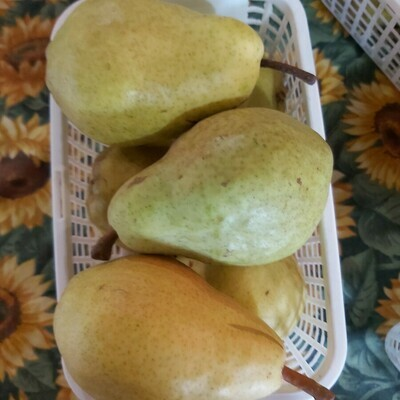 Flemish Beauty Pears (6)
