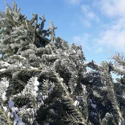 Christmas Trees AVAILABLE ON FARM