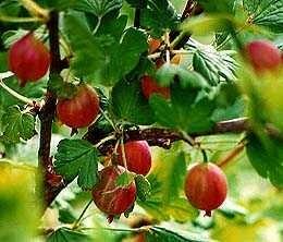 Jahn's Prairie (Ribes oxyacanthoides 'Jahn's) alias Prairieberry