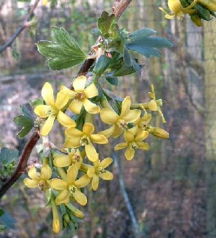Ribes odoratum 'Brecht'