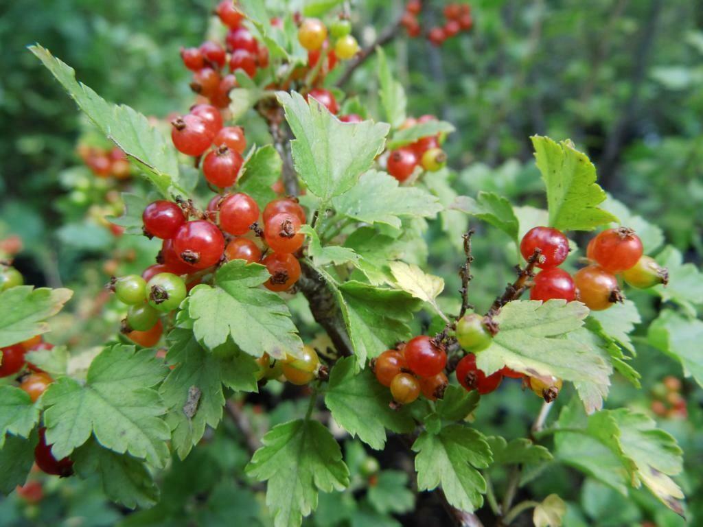 Ribes alpinum 'Elza'