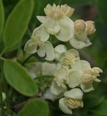 Akebia quinata - alba