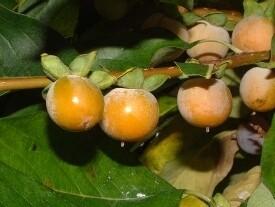 Date plum