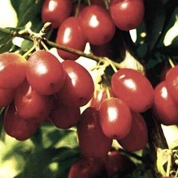 Jolico (Cornelian cherry or European cornel or cornelian cherry dogwood)