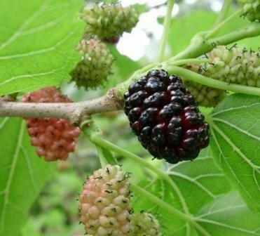 Zwarte moerbei (Morus nigra) (5 liter pot, >1m)