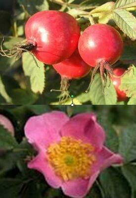 Viltroos (Rosa villosa) - 2l pot