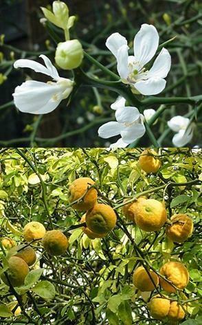 Poncirus trifoliata (=Winterharde citrus) (2l pot)