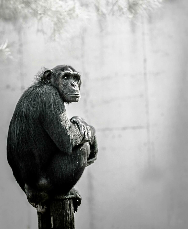 Handsome Chimp