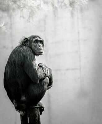 Handsome Chimp