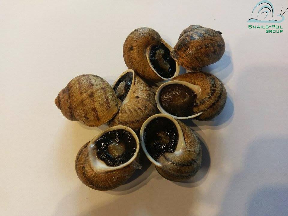 Reproduktory Helix Aspersa Maxima (kg)