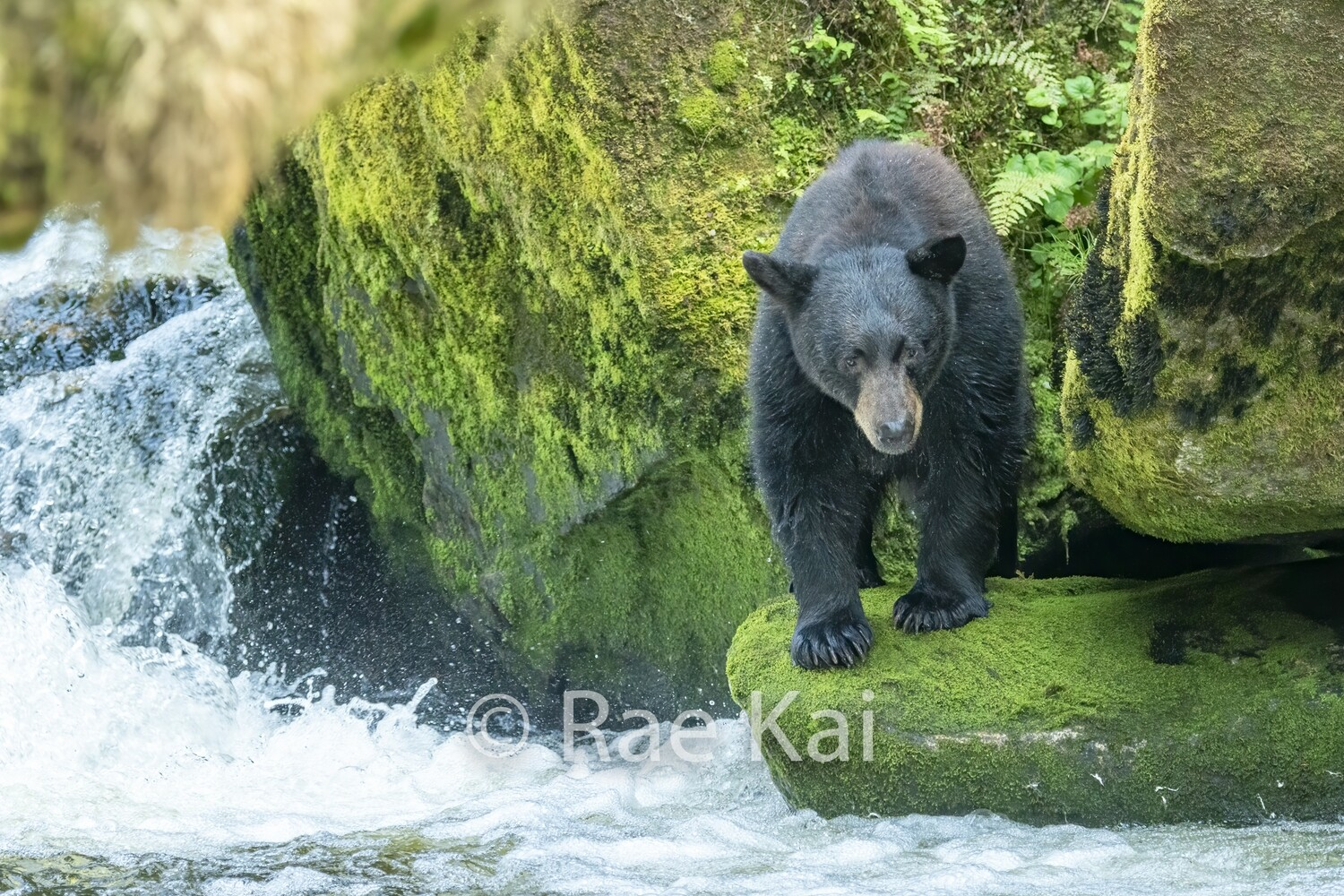 Black Bear by Waterfall-Traditional Photo