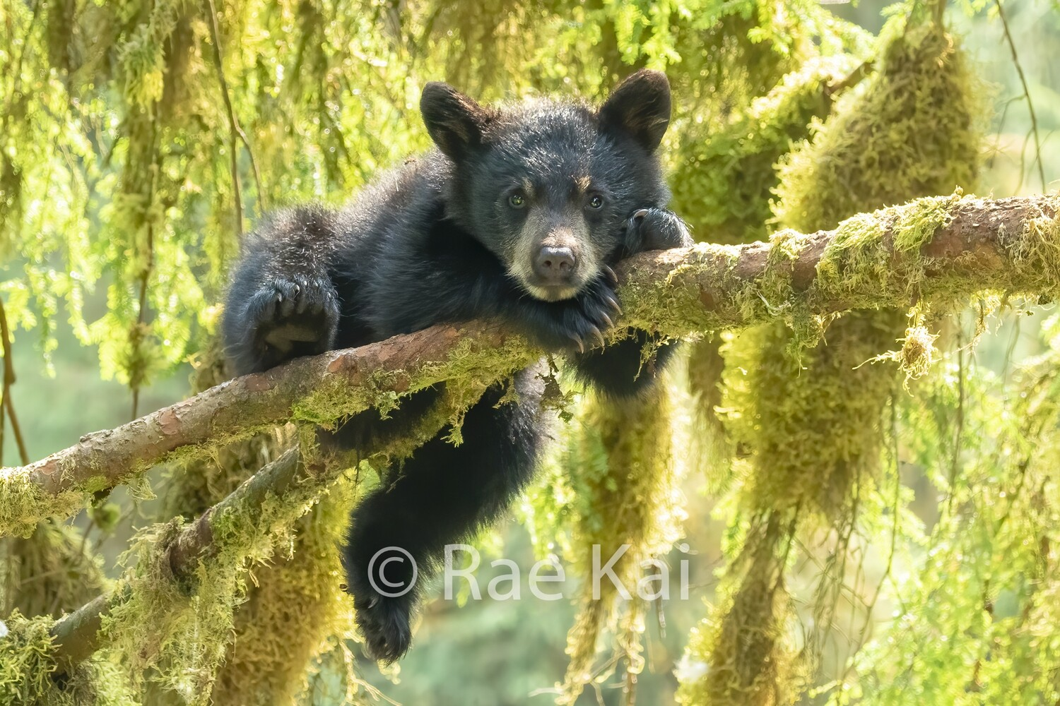 Black Bear Cub Relaxing in Tree-Traditional Photo
