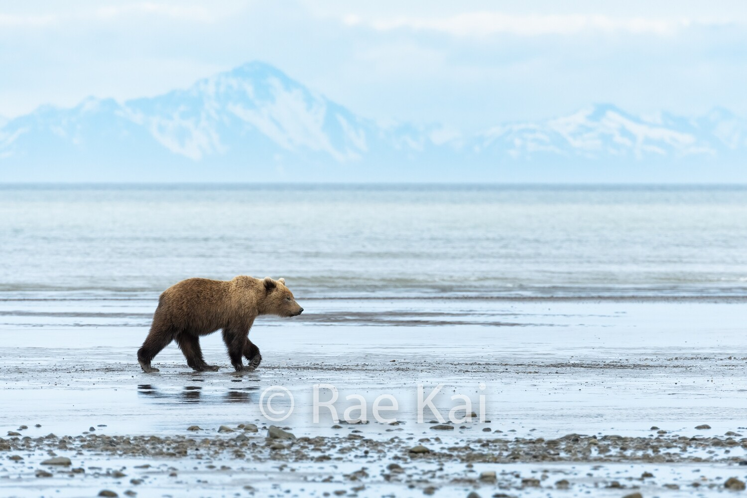 Brown Bear on Beach-Traditional Photo