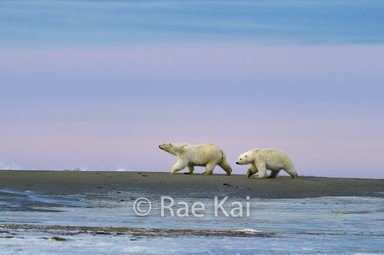 Polar Bear Sunset Serenity-Traditional Photo