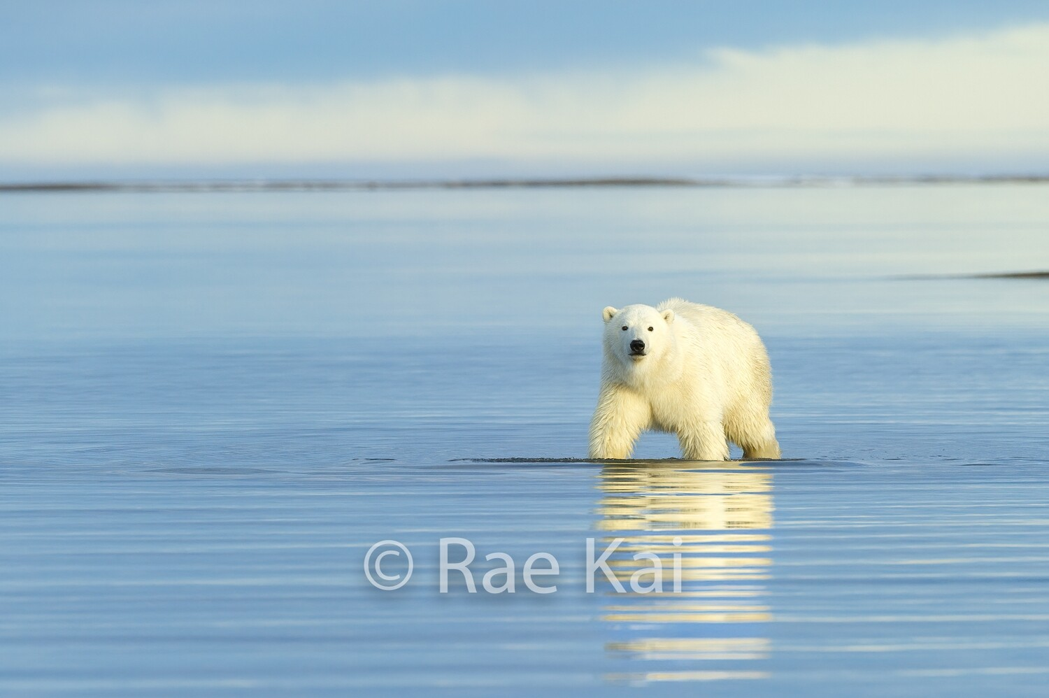 Waterscape Polar Bear-Traditional Photo