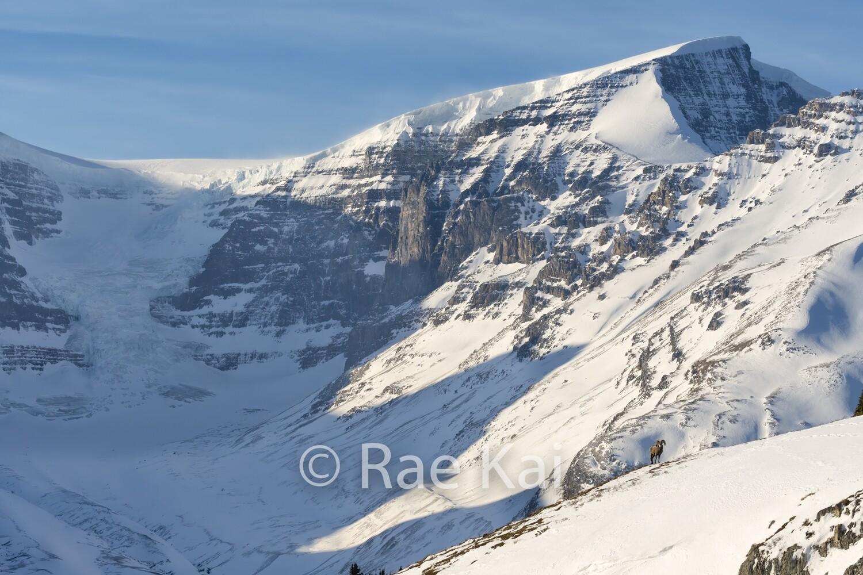 Glacier Bighorn Sheep-Traditional Photo