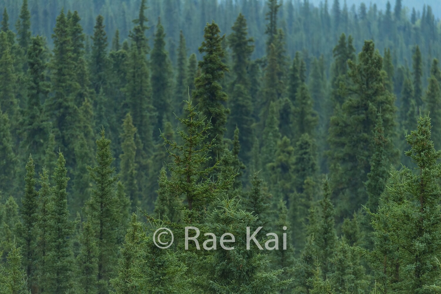 Forest Tree Tops-Traditional Photo