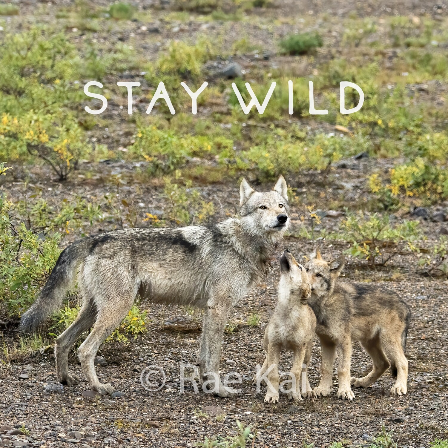 Stay Wild-Inspirational Square Photo