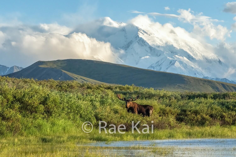 Denali Moose-Traditional Photo