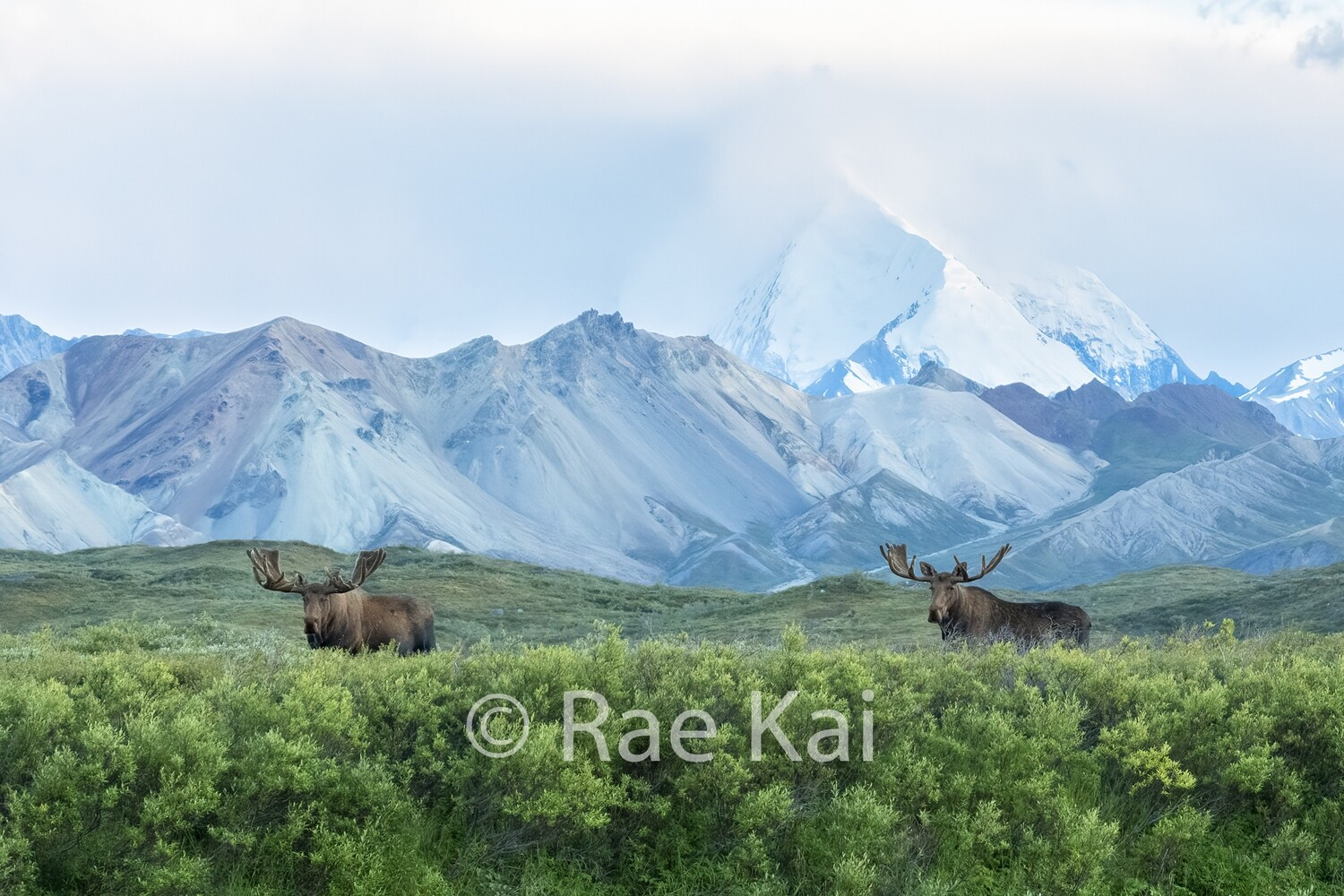Moosescape-Traditional Photo