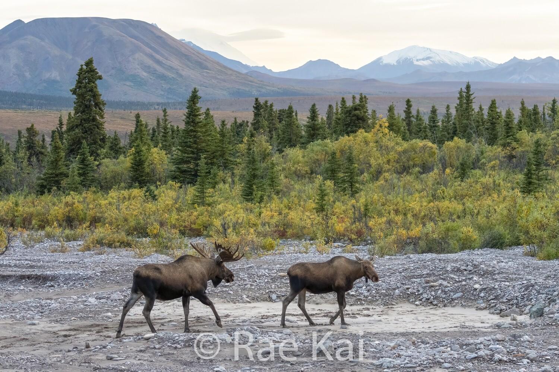 Moose Courtship-Traditional Photo