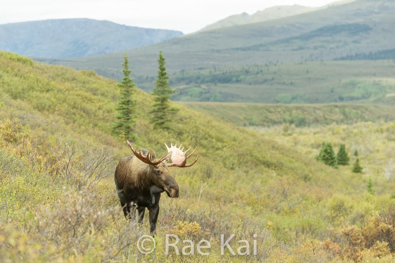 Moose Overlook-Traditional Photo