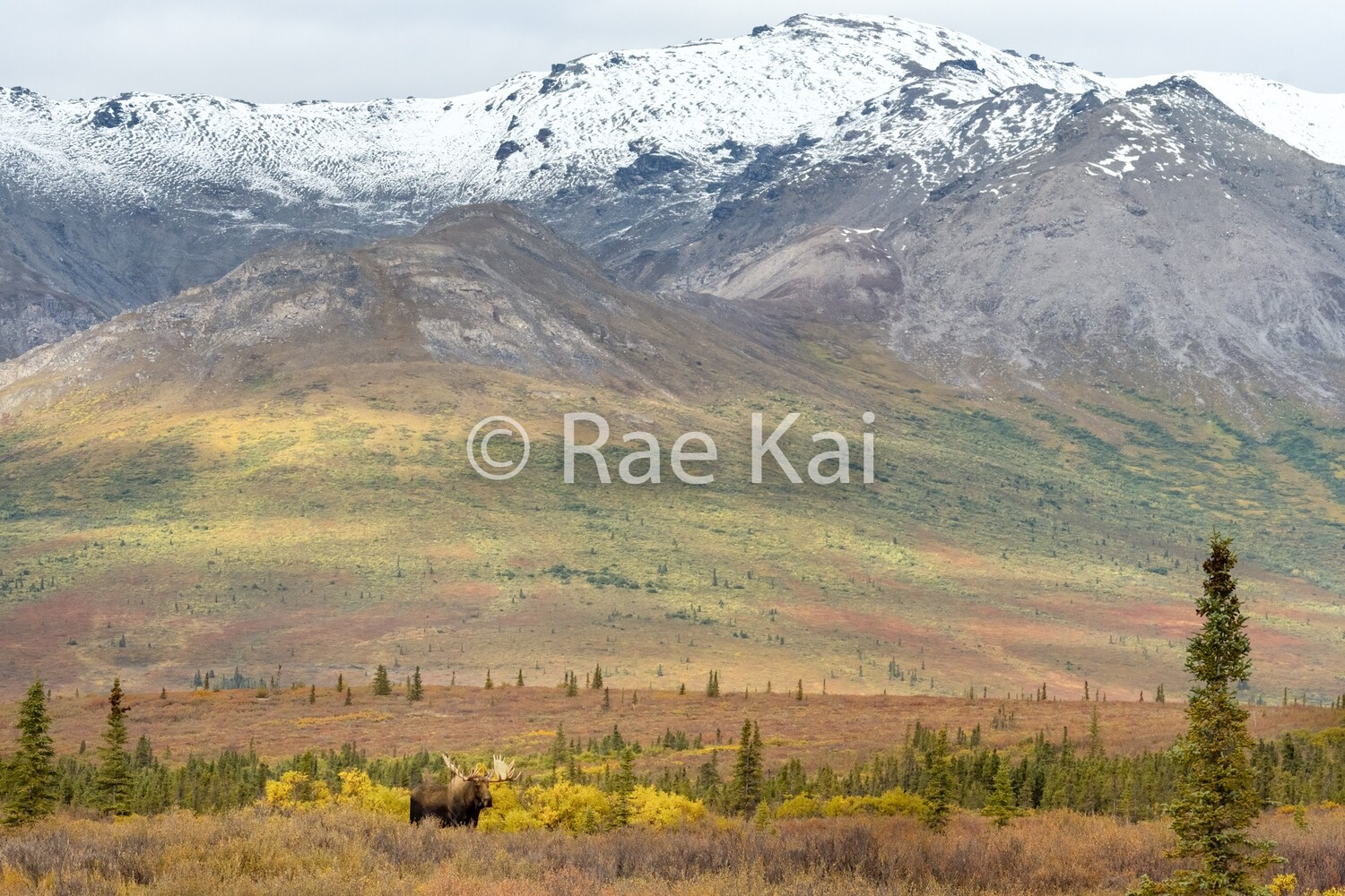 Moose Terrain-Traditional Photo