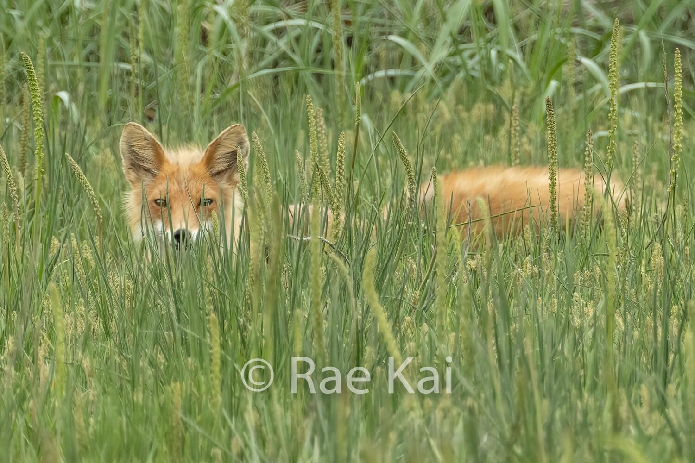 Hiding Fox-Traditional Photo