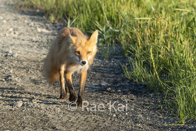 Rural Fox-Traditional Photo