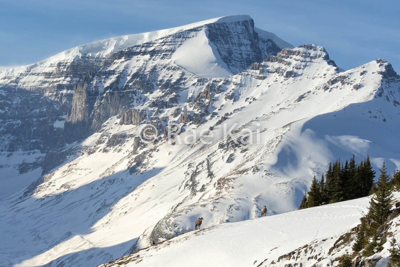 Mountainside Sheep-Traditional Photo
