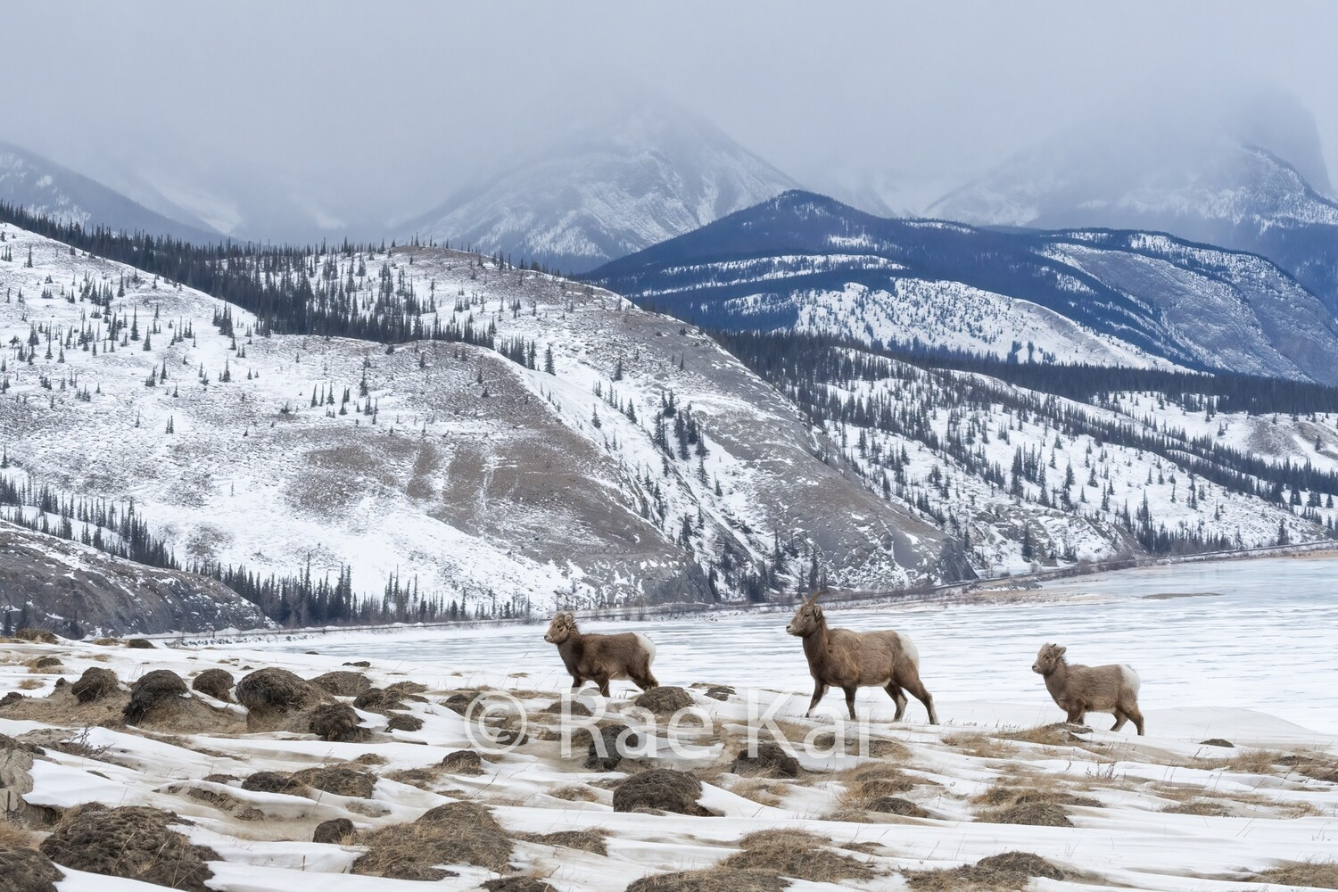 Bighorn Family-Traditional Photo