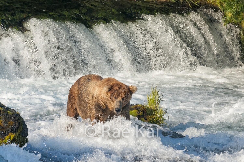 Whirlpool Bear-Traditional Photo