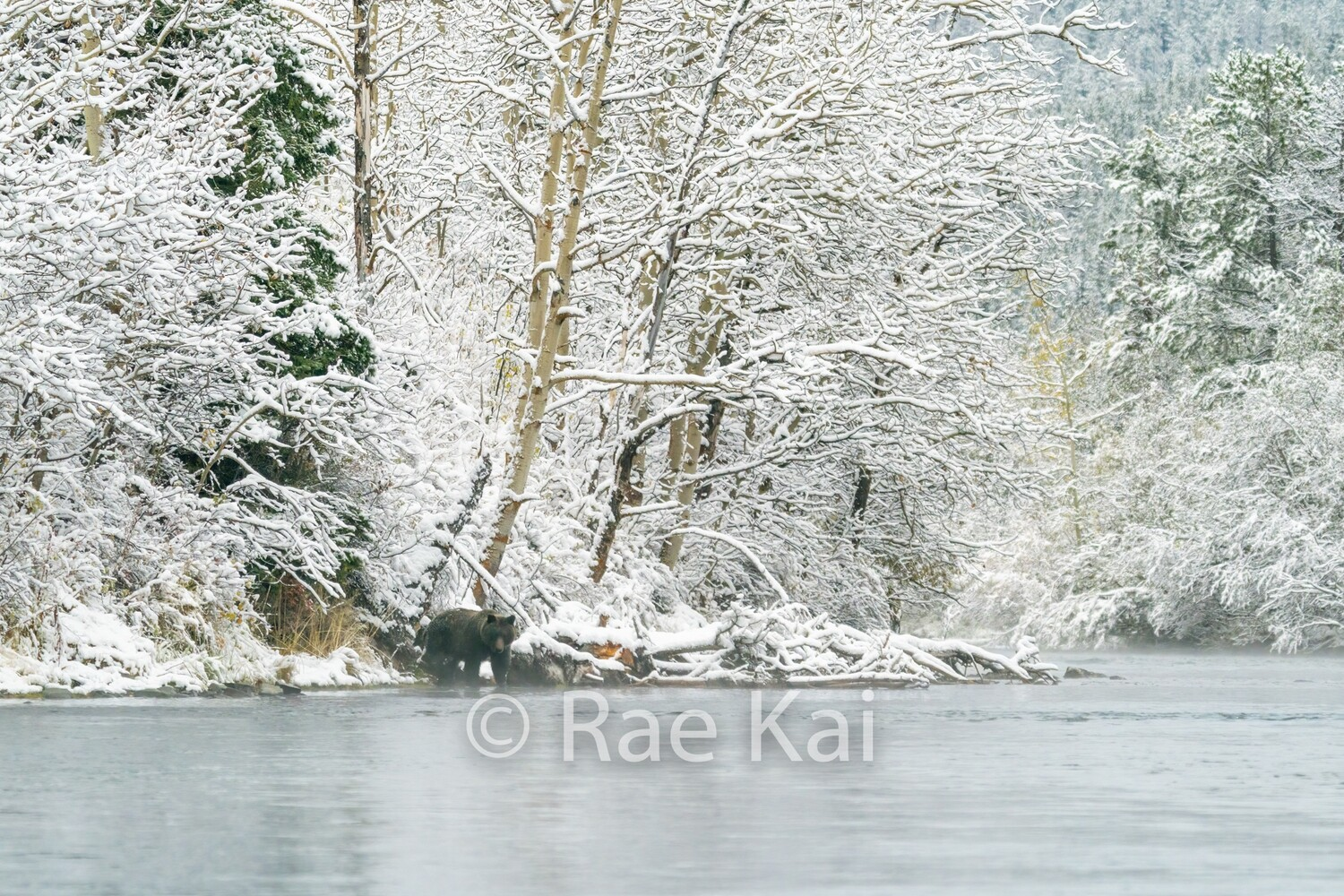 Winter River Bear-Traditional Photo