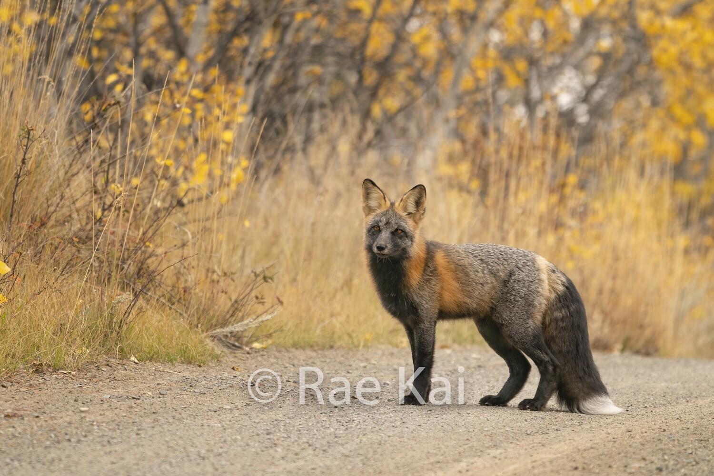 Fall Cross Fox-Traditional Photo