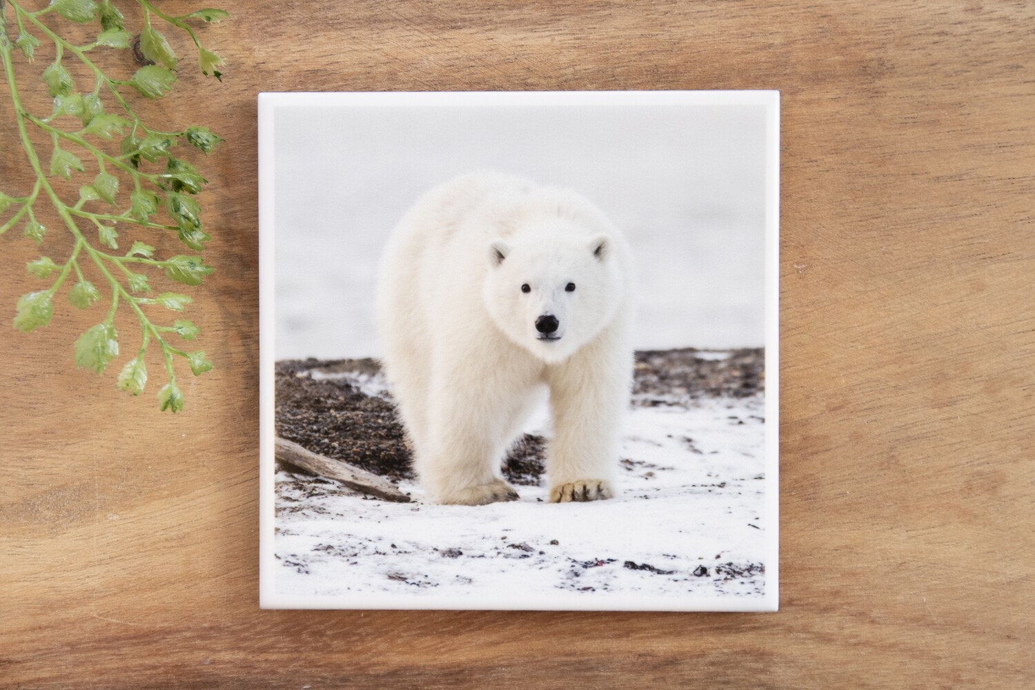 Polar Bear Cub-Nature Photo Coaster