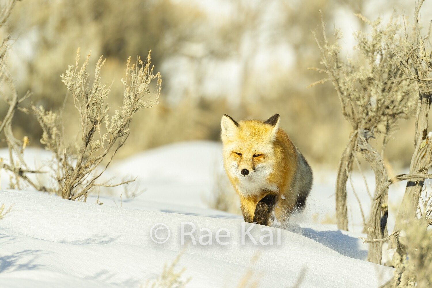 Fox in Snow-Traditional Photo