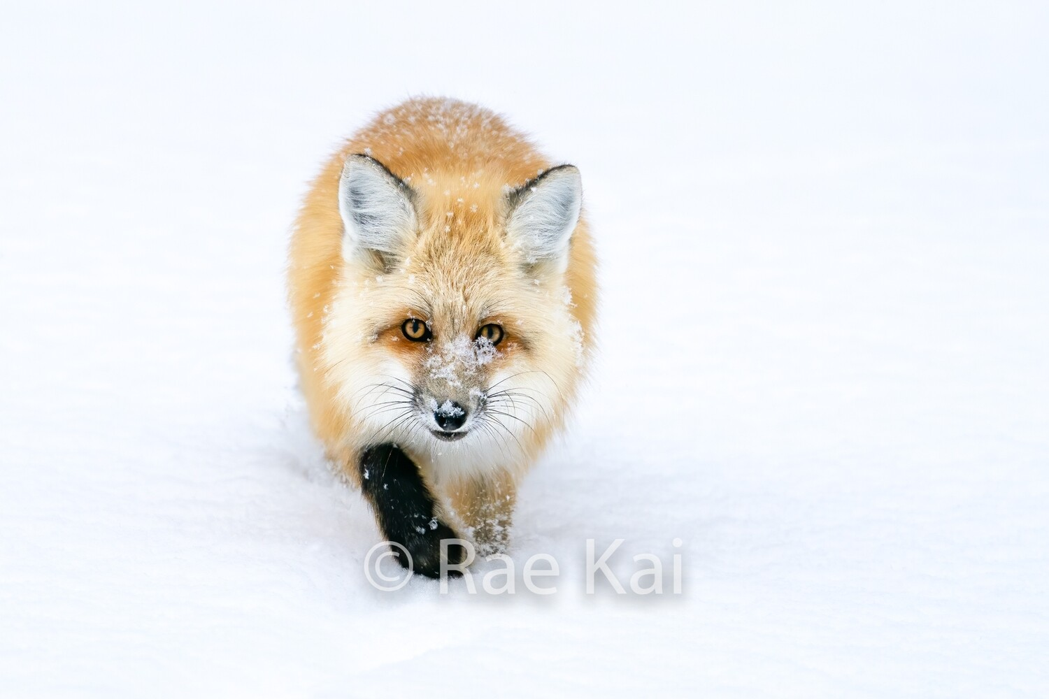 Winter Fox-Traditional Photo
