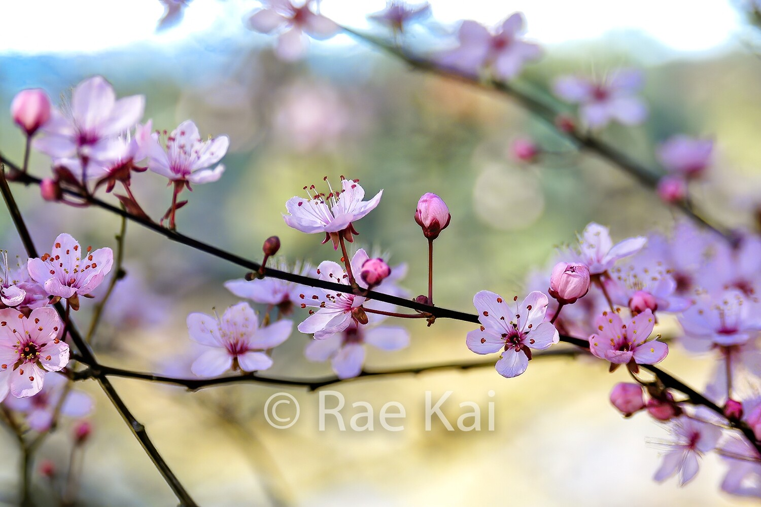 Cherry Blossoms-Traditional Photo