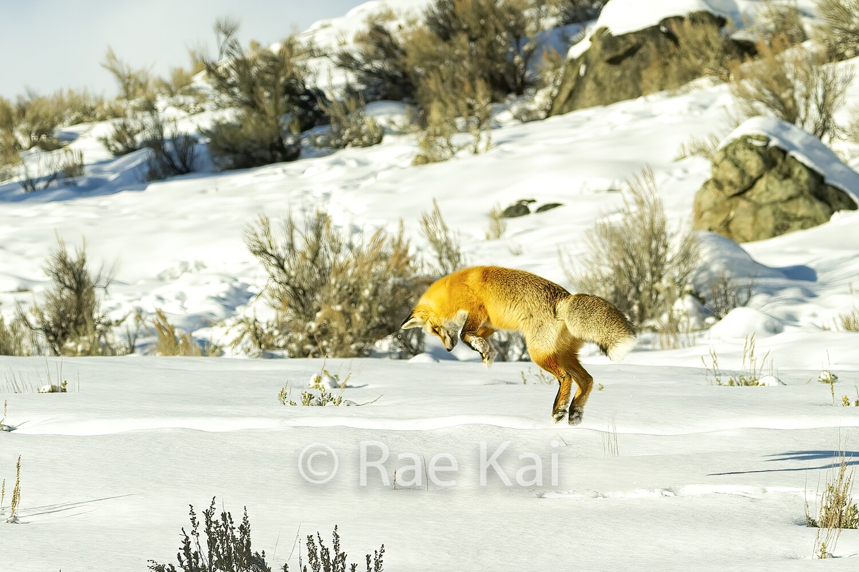 Fox Jump-Traditional Photo