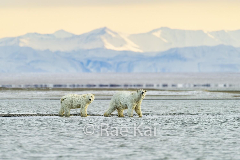 Polar Bear Mountain Scene-Traditional Photo